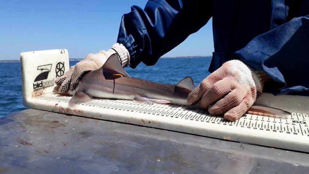Video: la importancia del estudio y la preservación de los tiburones del Mar Argentino