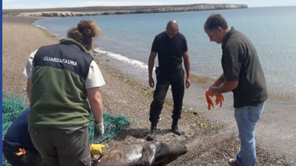 Aberrante: pescadores mataron a palazos a un lobo marino en la Península de Valdés