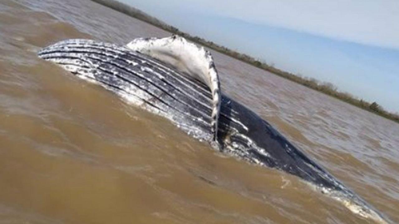 Hallan una ballena jorobada muerta en Punta Lara